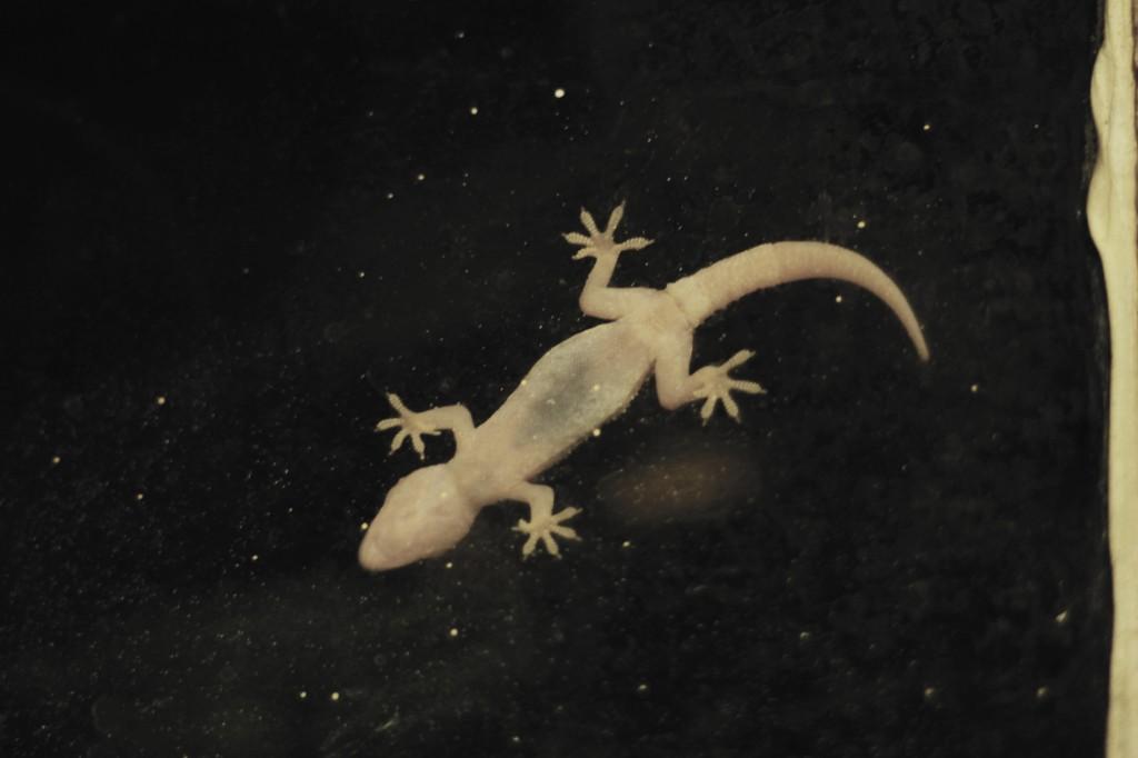 gecko zero vibrance
