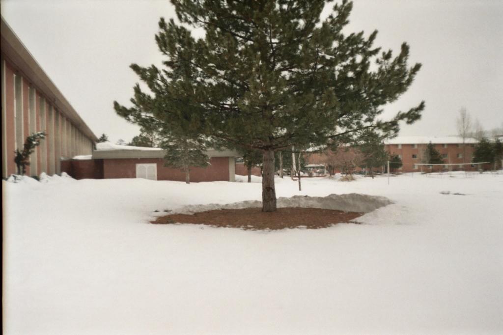 snow tree_tfarah