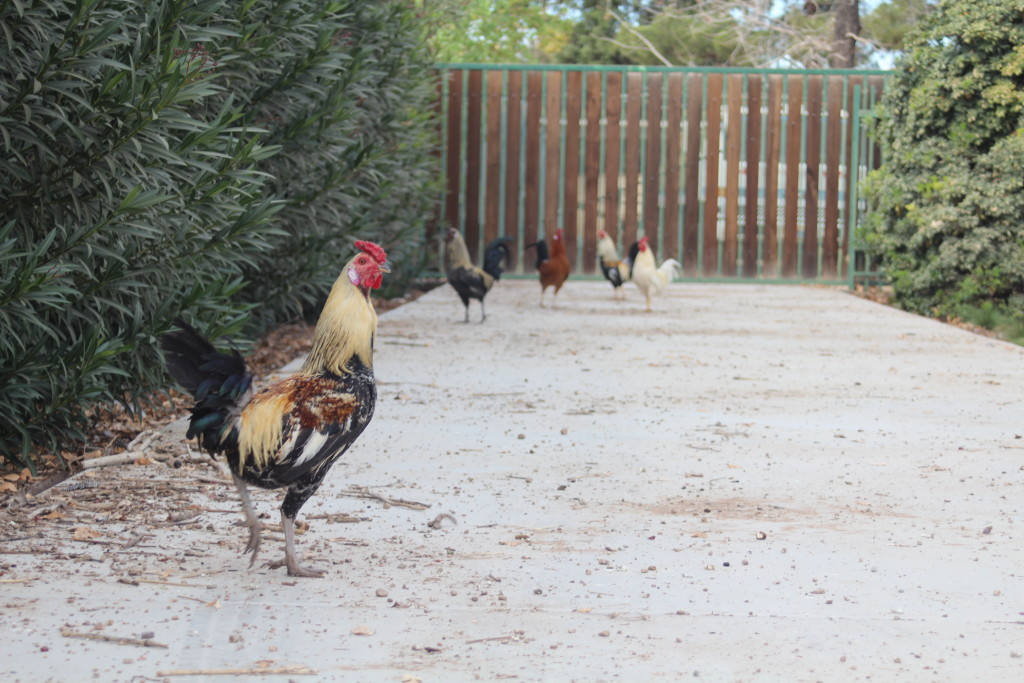 chickens_driveway