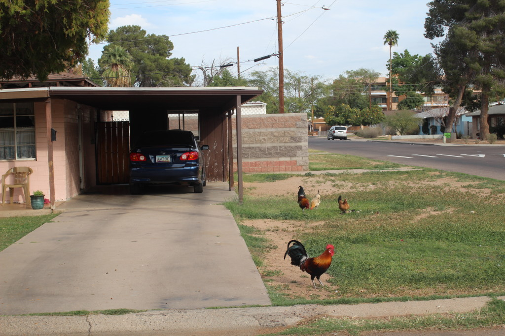 chickens_driveway2
